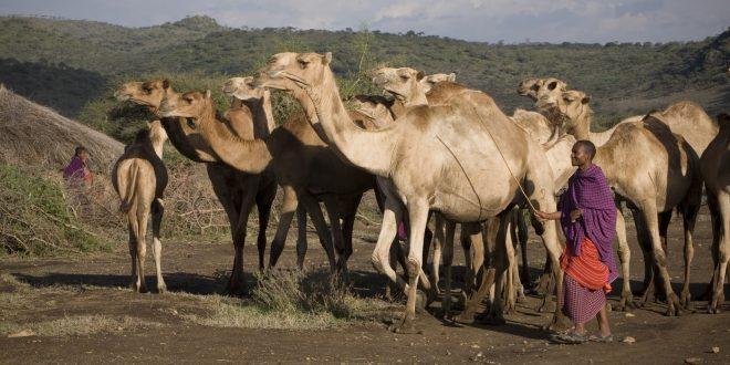 Mkuru Camel Safari